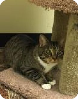 Domestic Shorthair Cat for adoption in Columbus, Georgia - Penske 3C3B