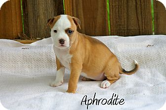 Boxer/American Bulldog Mix Puppy for adoption in Atlanta, Georgia - Aphrodite