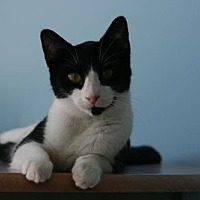 Domestic Shorthair Cat for adoption in Tampa, Florida - Norah2 (6897H)