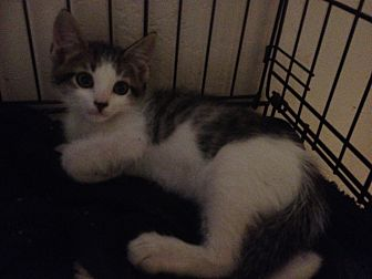 Maine Coon Kitten for adoption in Sunny Isles Beach, Florida - Sidney