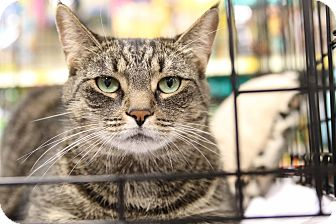 Domestic Shorthair Cat for adoption in Gainesville, Virginia - Snickers