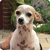 Adopt A Pet :: Opie - Mt. Prospect, IL