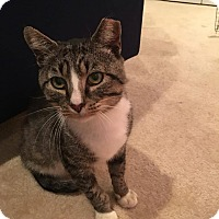 Domestic Shorthair Cat for adoption in Stafford, Virginia - Abner