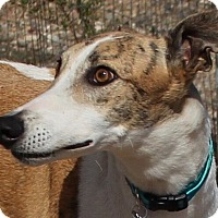 Adopt A Pet :: Valerie - Tucson, AZ