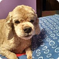 Adopt A Pet :: Charlot - Pierrefonds, QC