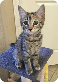Domestic Shorthair Kitten for adoption in Dallas, Texas - Alexis