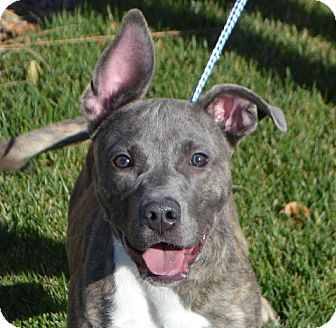 Pit Bull Terrier Mix Dog for adoption in Rockford, Illinois - Luna