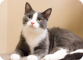 Domestic Shorthair Cat for adoption in Chicago, Illinois - Captain Joey