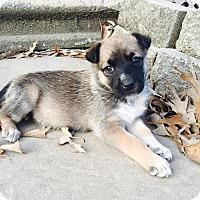 Australian Shepherd Mix Puppy for adoption in Southington, Connecticut - Trisha