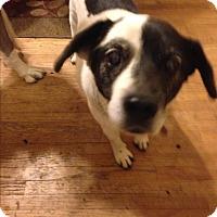 Beagle Mix Dog for adoption in Aurora, Illinois - Leo