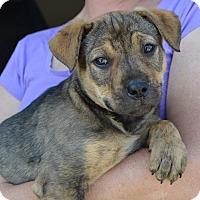 Adopt A Pet :: Cookie - Allen town, PA