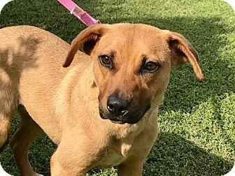 Labrador Retriever/Terrier (Unknown Type, Medium) Mix Dog for adoption in Brattleboro, Vermont - LAURA JO