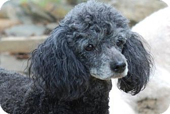 Poodle (Miniature) Dog for adoption in Spartanburg, South Carolina - Juliette near Charlotte, NC