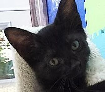 Domestic Shorthair Cat for adoption in Dallas, Texas - Marshall