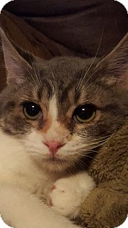 Domestic Shorthair Kitten for adoption in Rockford, Illinois - Happy