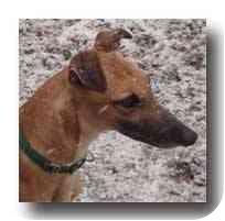 Greyhound Dog for adoption in Roanoke, Virginia - Peepers
