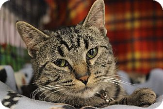 Domestic Shorthair Kitten for adoption in New Richmond,, Wisconsin - Becker