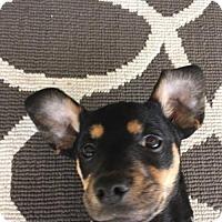 Adopt A Pet :: Guiness - Los Banos, CA