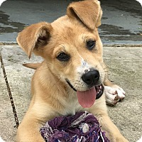 Labrador Retriever/Shepherd (Unknown Type) Mix Puppy for adoption in Glastonbury, Connecticut - Charlie~adopted!