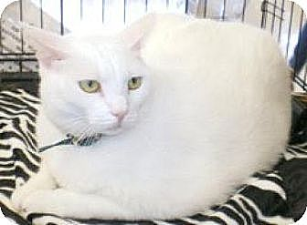 Domestic Shorthair Cat for adoption in Miami, Florida - Storm