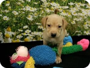Dachshund Mix Puppy for adoption in Lufkin, Texas - Chaz