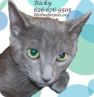 Russian Blue Cat for adoption in Monrovia, California - RICKY - Rock On!