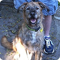 Irish Wolfhound/Airedale Terrier Mix Dog for adoption in Beverly Hills, California - PERKINS