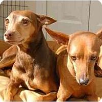 Adopt A Pet :: Sasha - Nashville, TN