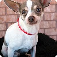 Adopt A Pet :: Tiny - Bridgeton, MO