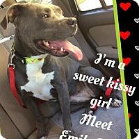 Adopt A Pet :: EmilyRose - Huntington Beach, CA