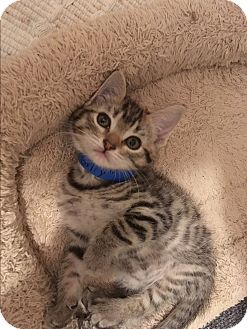 American Shorthair Kitten for adoption in San Jose, California - Gilly