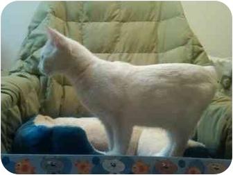 American Shorthair Kitten for adoption in Simpsonville, South Carolina - CreamPuff