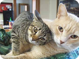 American Shorthair Cat for adoption in Walnut, Iowa - Logan