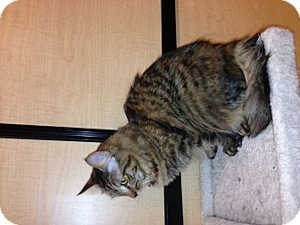 Domestic Mediumhair Cat for adoption in Scottsdale, Arizona - Percy