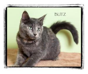 Domestic Shorthair Kitten for adoption in Warren, Pennsylvania - Blitz