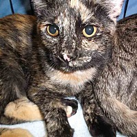 Domestic Shorthair Kitten for adoption in Gaithersburg, Maryland - Cersi