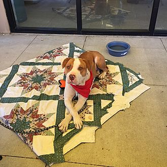 American Bulldog/American Pit Bull Terrier Mix Dog for adoption in Albuquerque, New Mexico - Maynard