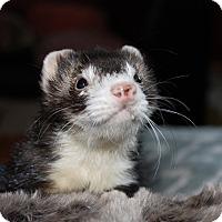 Adopt A Pet :: Franklin - Chantilly, VA