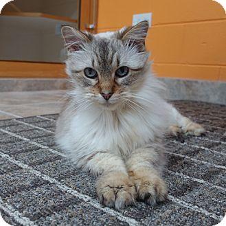 Siamese Cat for adoption in Palatine, Illinois - Chula