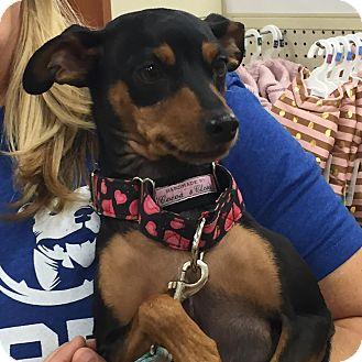 Miniature Pinscher Mix Dog for adoption in Rochester, Minnesota - Sassy