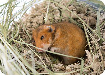 Hamster for adoption in Montclair, California - Syrian Hamsters