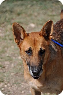 German Shepherd Dog Dog for adoption in Dripping Springs, Texas - Rita