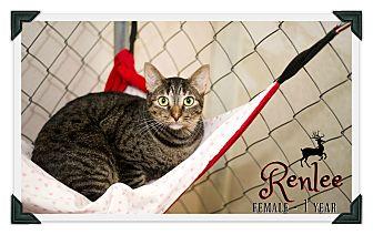 Domestic Shorthair Cat for adoption in Fallbrook, California - Renlee