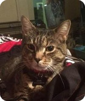 Domestic Shorthair Cat for adoption in Worcester, Massachusetts - Earl