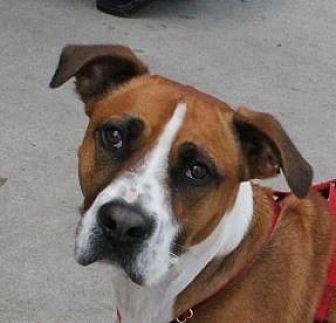 Boxer/Hound (Unknown Type) Mix Dog for adoption in Winder, Georgia - Connor