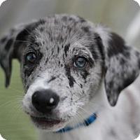 Adopt A Pet :: Cayenne - ADOPTED - Brattleboro, VT
