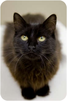 Domestic Longhair Cat for adoption in Chicago, Illinois - Marie