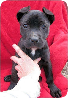 """American Pit Bull Terrier Mix Puppy for adoption in Charleston, Arkansas - Christmas """"Dears"""""""