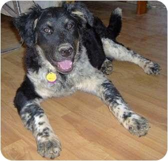 Retriever (Unknown Type)/Border Collie Mix Puppy for adoption in Golden Valley, Arizona - Mindy