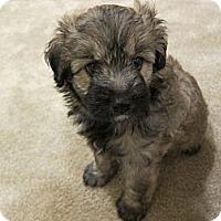 Adopt A Pet :: Ashley - La Habra Heights, CA